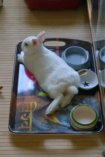 Meiko, lapin blanc à l'oeil au beurre noir!-[adopté] 660262WP20140906185815ProR