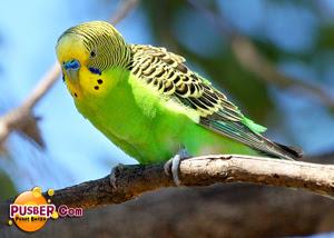 Cara Ternak Burung Parkit, Cara Budidaya Burung Parkit, Cara Beternak Burung Parkit