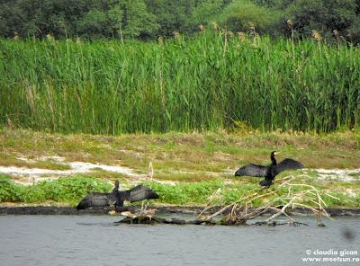 pasari din delta: cormorani mari