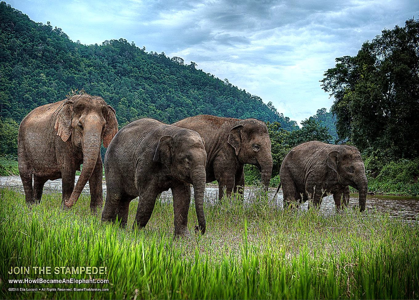 Free Elephant Desktop Wallpapers or Background   Afternoon Stroll