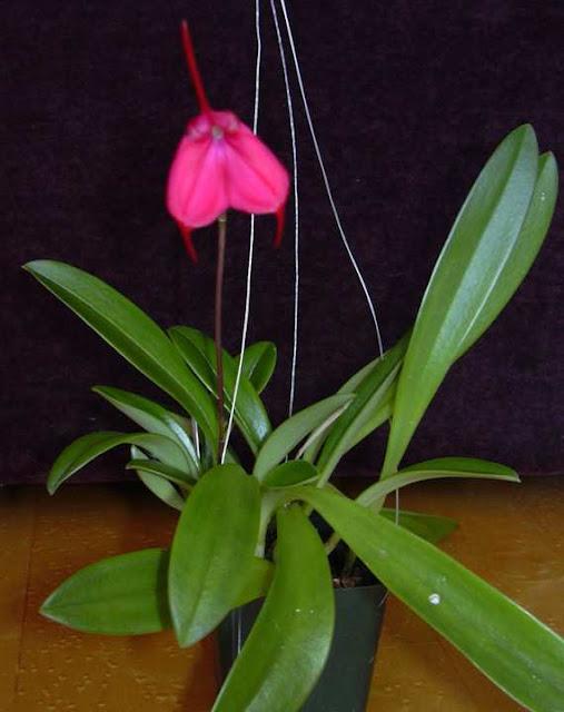 Растения из Тюмени. Краткий обзор - Страница 4 Masdevallia%252520barleana