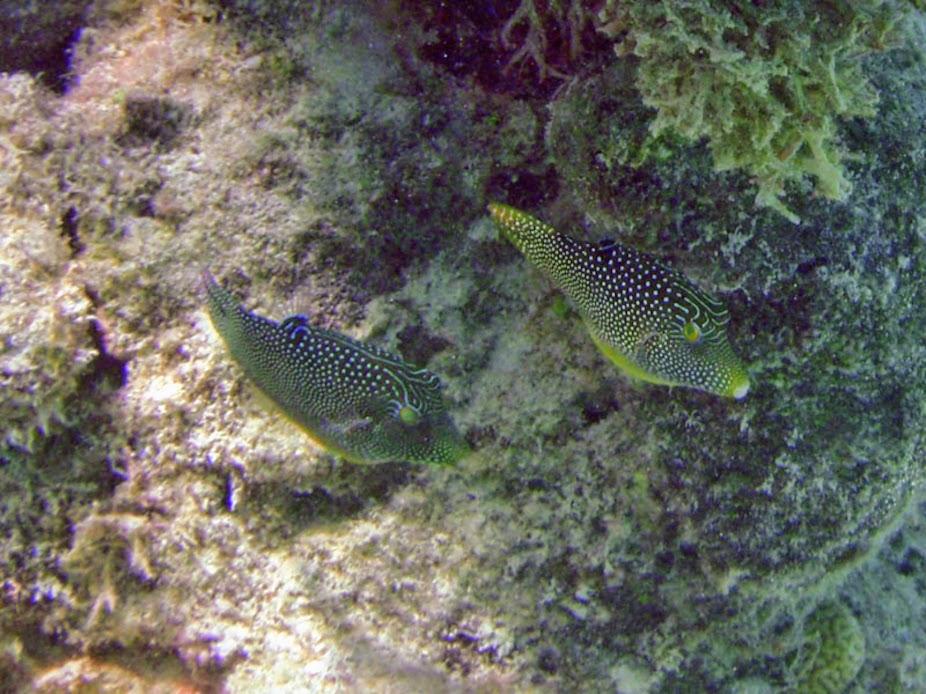 Canthigaster solandri (Spotted Sharp-nose Puffer), Aitutaki.
