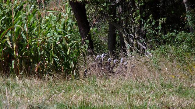 Turkey heads above the grass
