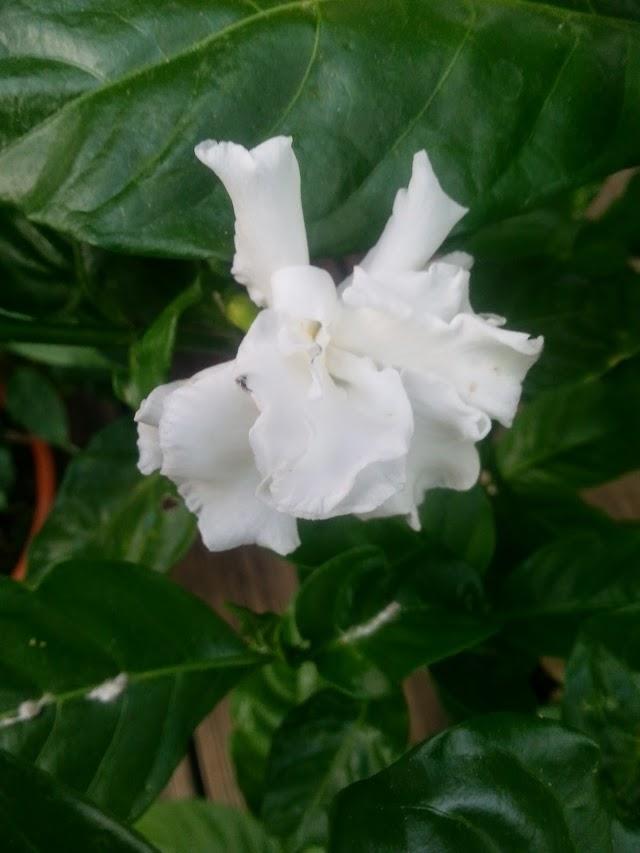 un jasmin à identifier 20140619_183138