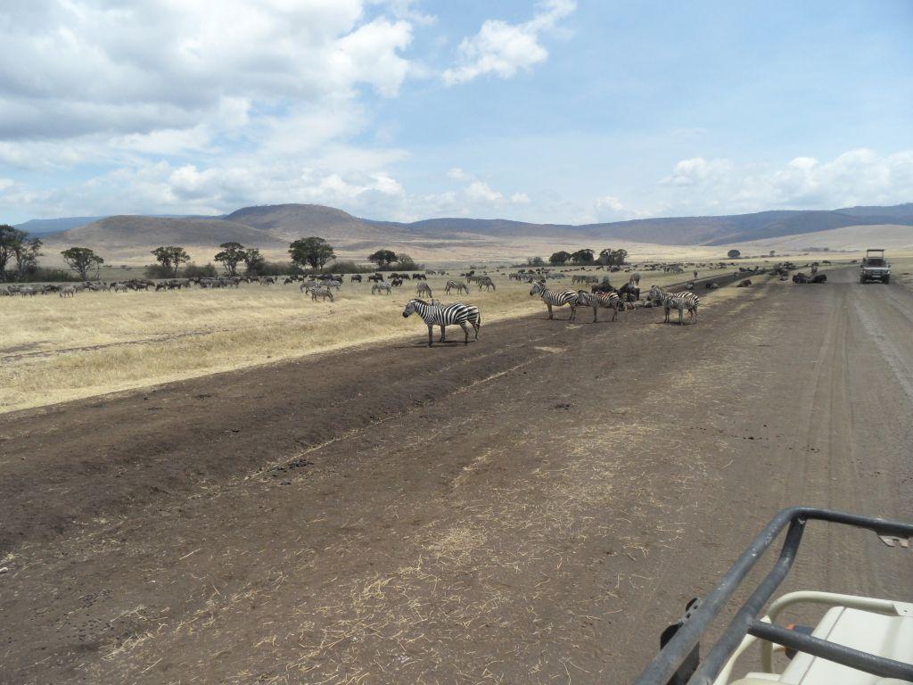 Ngorongoro'nun Gnu ve Zebra Sürüleri