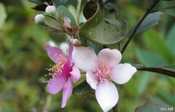 thơ hay về hoa sim