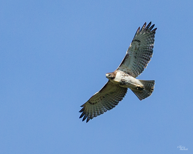 Red-Tailed Hawk Welcomes Me Back