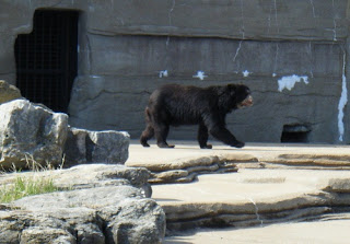 Tulsa Zoo ~ Black Bear