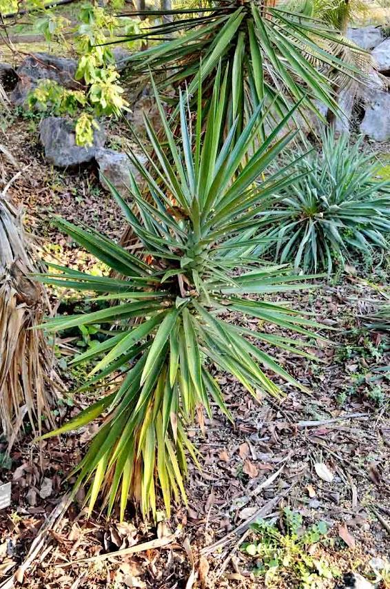 besoin de votre aide pour ce yucca? Yucca_aloifolia