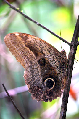 Owl butterfly near Lake Sandoval in Tambopata Peru
