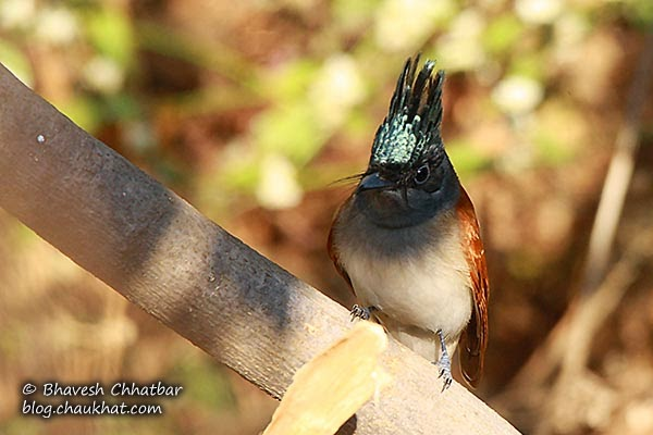 Asian Paradise Flycatcher with its shining crown