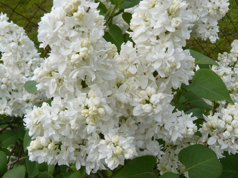 Des floraisons au jardin ... P1030253
