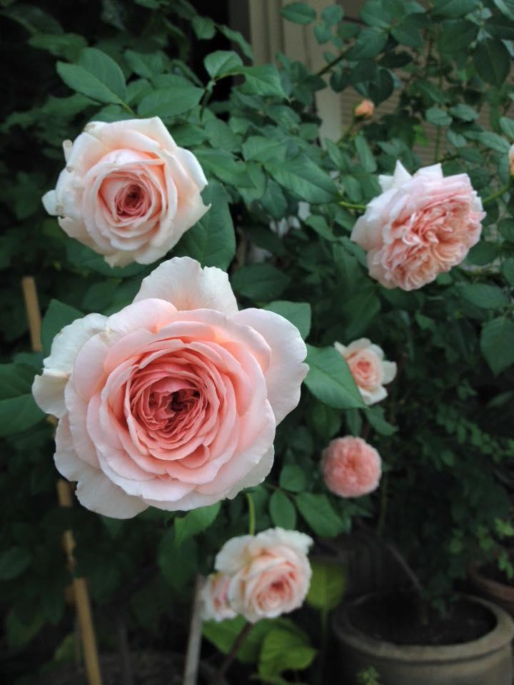 1 chậu hoa hồng leo Abraham Darby Rose đang ra hoa