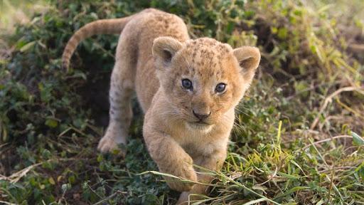 African Lion Cub, Masai Mara, Kenya.jpg