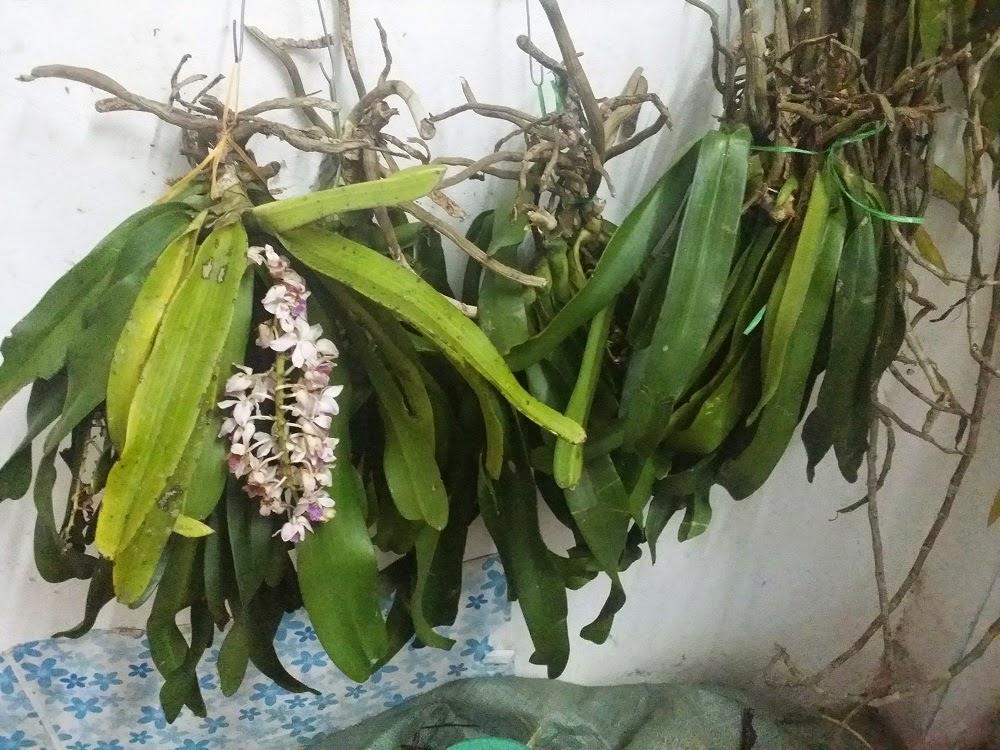 lan Đai Châu chỉ nở hoa vào dịp Tết âm lịch