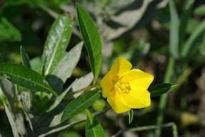 Water-primrose