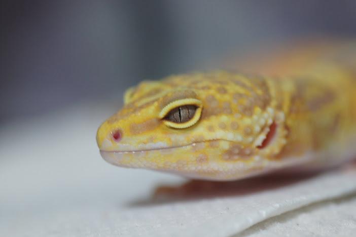 ヒョウモントカゲモドキの眼、瞳