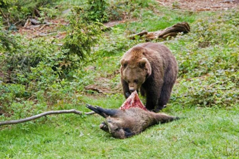 Urso pardo vs Urso polar 191c806fe8a746a4