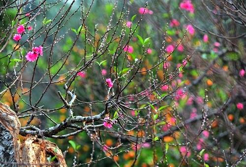 hoa đào ngày xuân