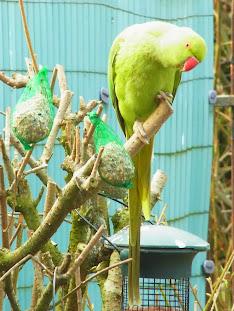 des perruches à collier dans mon jardin R0020006+BIS