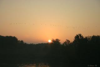 Geese near the Pembroke Marina at sunrise.