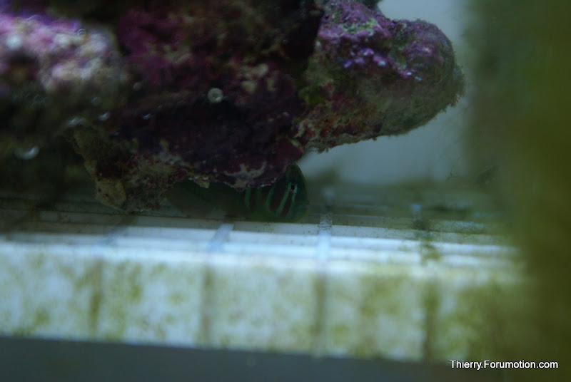 Gobiodon atrangulatus (Green Clown Goby) DSC04898