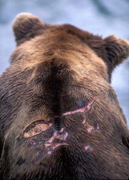 Urso pardo vs Urso polar - Página 2 0d9bc743cf961522gen
