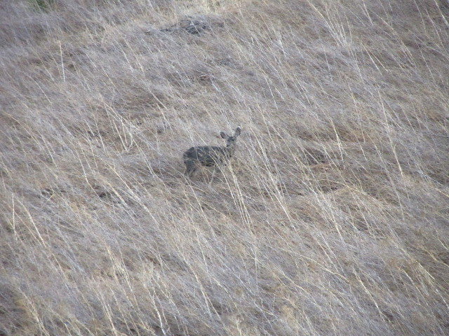 deer on hillside of dry, long grass