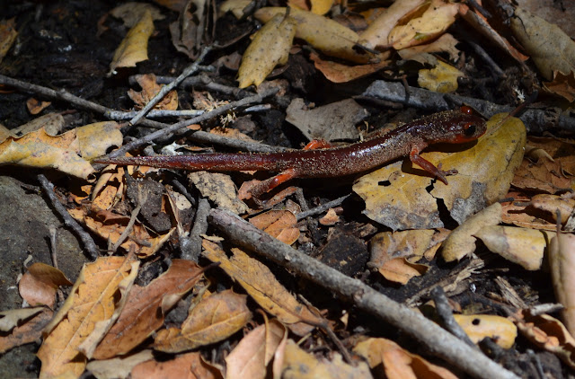 a sandy and red California newt