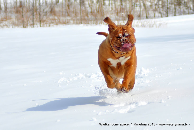 dogue de bordeaux hodowla