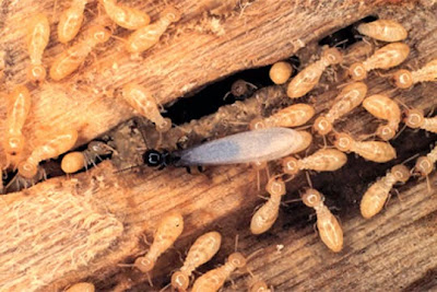 Diệt mối gỗ khô