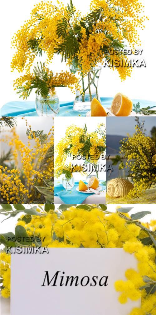 Stock Photo: Mimosa