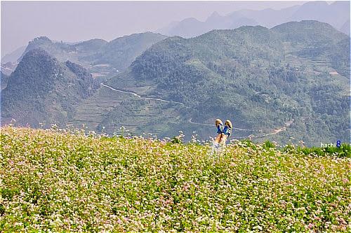 Hoa tam giac mach tai cac dia diem o ha giang1 Hoa tam giác mạch tại một số nơi ở Hà Giang