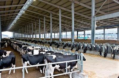 Đơn hàng chăn nuôi bò sữa cần 3 nữ thực tập sinh làm việc tại Hokkaido Nhật Bản tháng 05/2016
