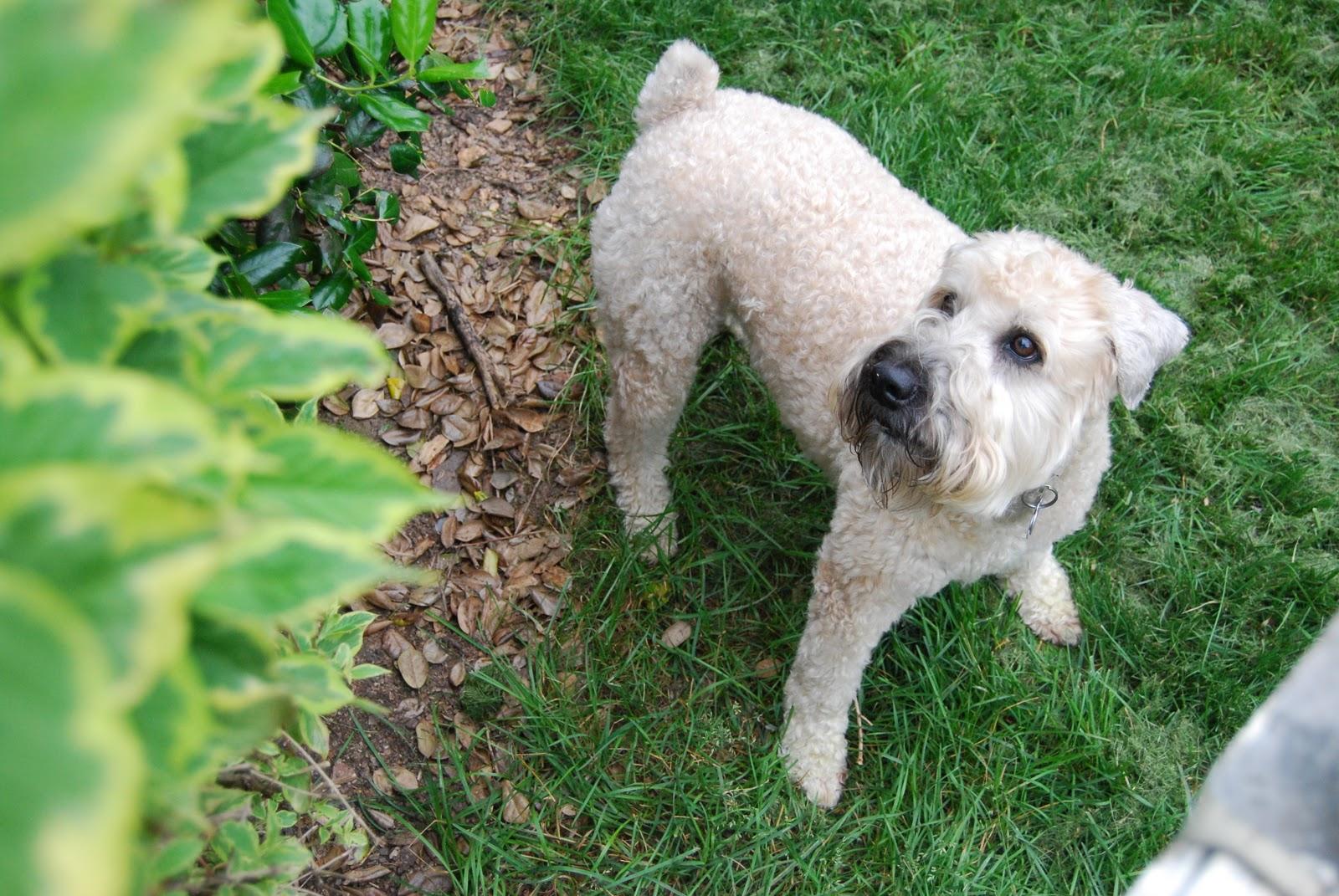 Wheaten Terrier Blog Seamus And His Pal Stella Wheaten Terriers