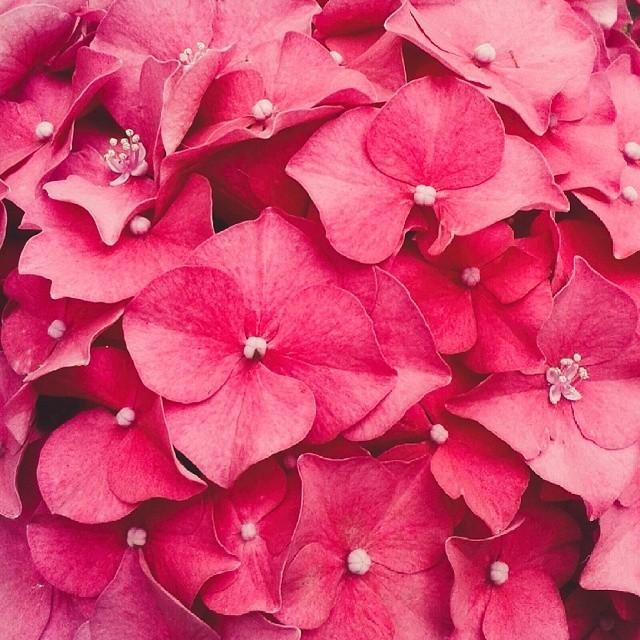 bright pink hydrangea