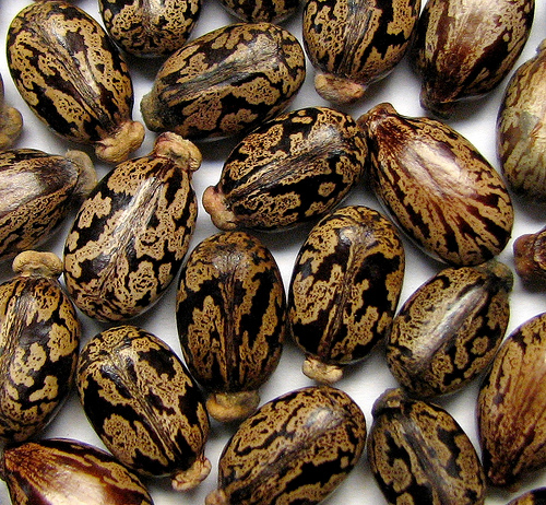 фото семена фасоли