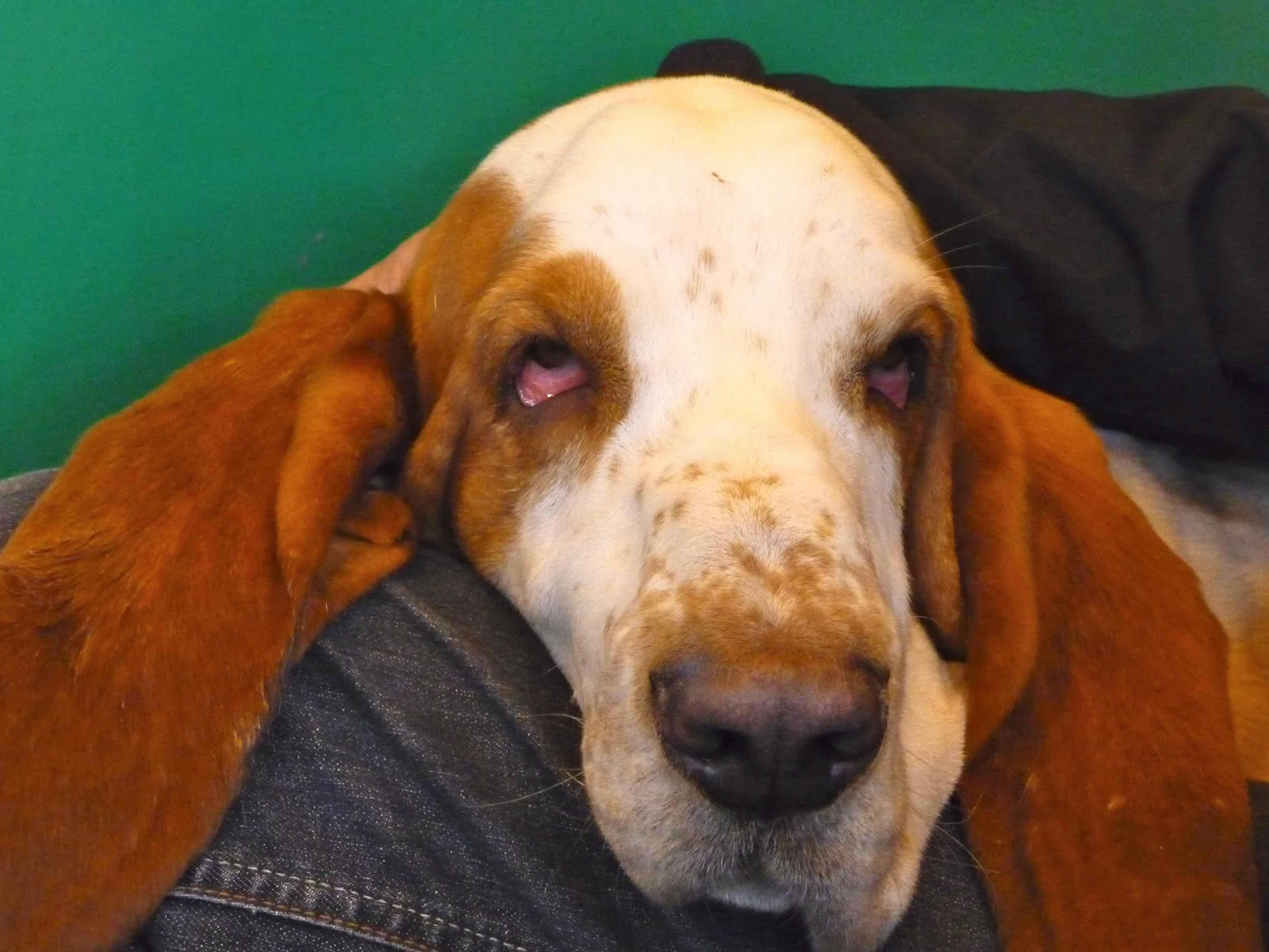 Pedigree Dogs Exposed - The Blog: Basset hounds... an eye on the future