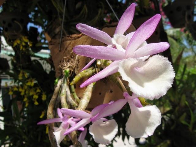 Hoàng thảo vôi là loại lan có giá cũng khá cao vì nó ít và đẹp