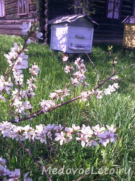 Весна на пасеке Медовое Лето. Цветёт китайская вишня.