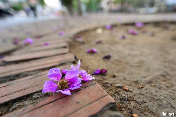 cánh hoa tím bằng lăng rơi rụng