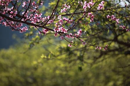 Thơ hoa mùa Xuân