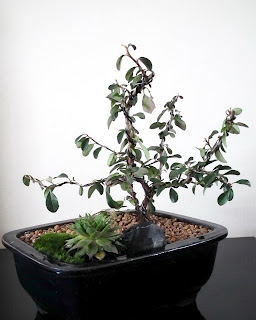 Miniature Cotoneaster bonsai - group of 3 plants