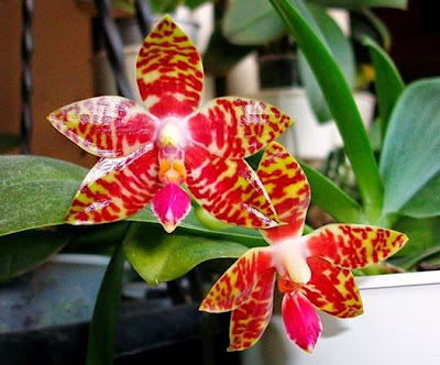phalaenopsis Ambolued3