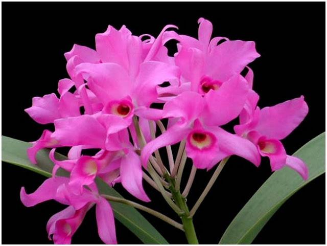 Растения из Тюмени. Краткий обзор - Страница 2 14_C_skinneri
