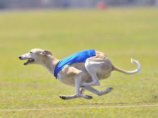 Blondie at her First AKC Lure Coursing Trial - SHOT - 9-22-2012
