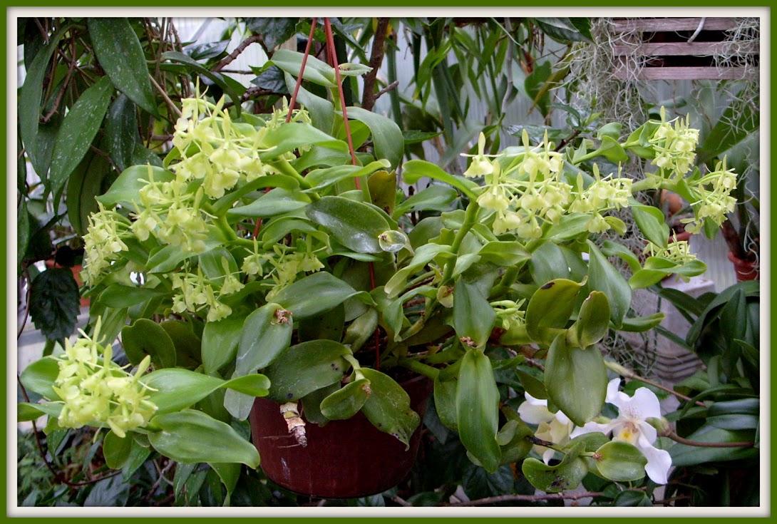 Epidendrum difforme S1052851