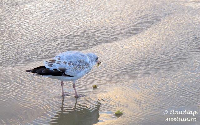 pescarus hranindu-se cu alge