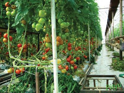 Đơn hàng trồng và thu hoạch cà chua cần 3 nam thực tập sinh làm việc tại Aichi Nhật Bản tháng 04/2016