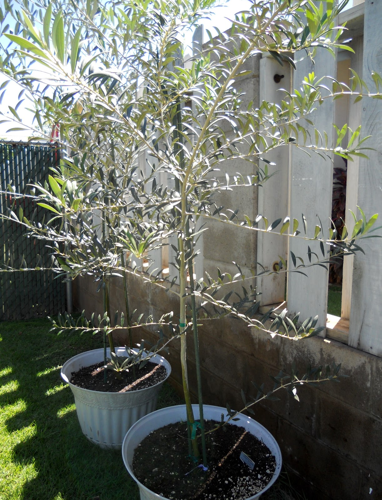 A Kitchen Garden in Kihei Maui Growing Container Fruit Trees in Kihei